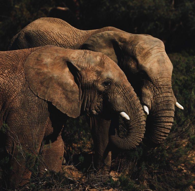 slonovsko pamćenje