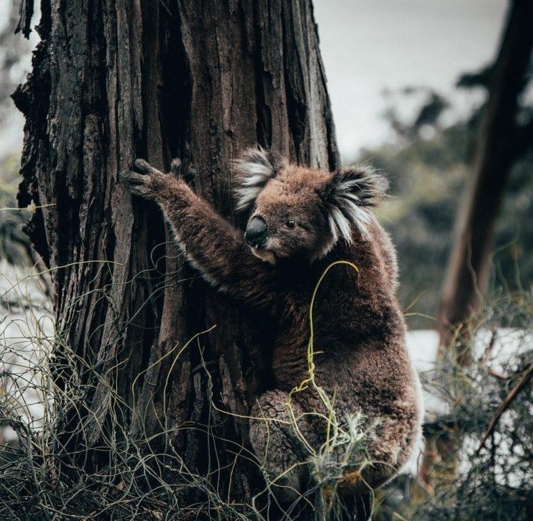 koale požari australija