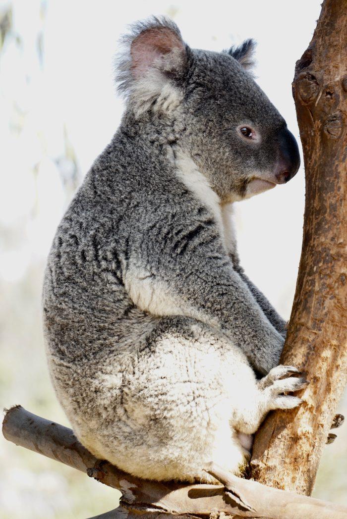 koala požari australija